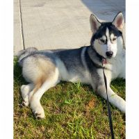 Siberian Husky Puppies for sale in Tuscaloosa, AL, USA. price: NA