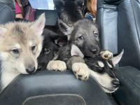Siberian Husky Puppies for sale in Spokane, WA, USA. price: NA