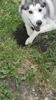 Siberian Husky Puppies for sale in Chicago, IL 60644, USA. price: NA