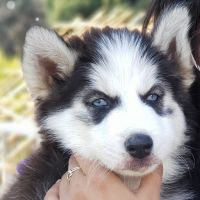 Siberian Husky Puppies for sale in Granite Bay, CA 95746, USA. price: NA