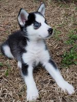 Siberian Husky Puppies for sale in Fairhope, AL 36532, USA. price: NA