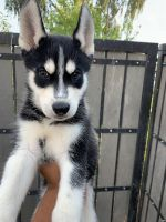 Siberian Husky Puppies for sale in Peoria, AZ, USA. price: NA