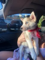 Siberian Husky Puppies for sale in Hialeah, FL 33012, USA. price: NA