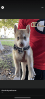 Siberian Husky Puppies for sale in Chula Vista, CA 91911, USA. price: NA