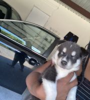 Siberian Husky Puppies for sale in Arlington, TX, USA. price: NA