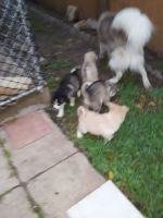 Siberian Husky Puppies for sale in Austin, TX, USA. price: NA