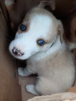 Siberian Husky Puppies for sale in Covington, GA, USA. price: NA