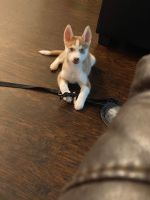 Siberian Husky Puppies for sale in Garland, TX, USA. price: NA