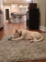 Siberian Husky Puppies for sale in Old Hickory, Nashville, TN 37138, USA. price: NA