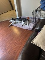 Siberian Husky Puppies for sale in El Paso, TX, USA. price: NA
