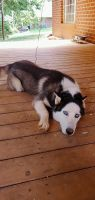 Siberian Husky Puppies for sale in Lynchburg, VA, USA. price: NA