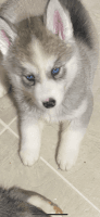 Siberian Husky Puppies for sale in 310 Country Estates Rd, Woodruff, SC 29388, USA. price: NA