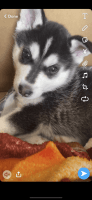 Siberian Husky Puppies for sale in High Point, NC, USA. price: NA