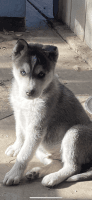 Siberian Husky Puppies for sale in San Jose, CA, USA. price: NA