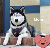 Siberian Husky Puppies for sale in 3310 Modena Way, New Smyrna Beach, FL 32168, USA. price: NA