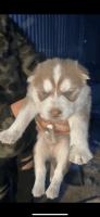 Siberian Husky Puppies for sale in Sunnyside, WA, USA. price: NA