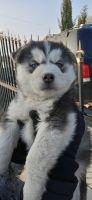 Siberian Husky Puppies for sale in Tarzana, Los Angeles, CA, USA. price: NA