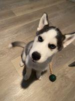 Siberian Husky Puppies for sale in Corona, CA, USA. price: NA