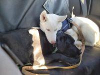 Siberian Husky Puppies for sale in Trenton, NJ, USA. price: NA