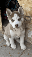 Siberian Husky Puppies for sale in Las Vegas, NV, USA. price: NA