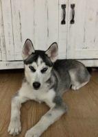 Siberian Husky Puppies for sale in Bridgeport, NE 69336, USA. price: NA