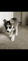 Siberian Husky Puppies for sale in Calabasas, CA, USA. price: NA