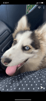 Siberian Husky Puppies for sale in Chula Vista, CA, USA. price: NA