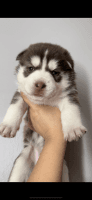 Siberian Husky Puppies for sale in Long Beach, CA 90804, USA. price: NA
