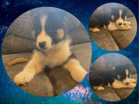 Siberian Husky Puppies for sale in Sharon, PA, USA. price: NA