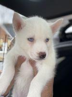 Siberian Husky Puppies for sale in Lilburn, GA 30047, USA. price: NA