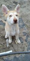 Siberian Husky Puppies for sale in Apopka, FL, USA. price: NA
