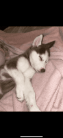 Siberian Husky Puppies for sale in San Marcos, CA, USA. price: NA