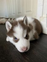 Siberian Husky Puppies Photos