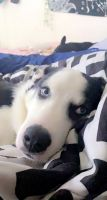Siberian Husky Puppies for sale in Hickory Hills, IL 60457, USA. price: NA