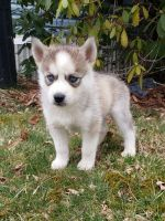Siberian Husky Puppies for sale in California City, CA, USA. price: NA