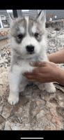 Siberian Husky Puppies for sale in Idaho Falls, ID, USA. price: NA
