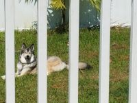 Siberian Husky Puppies for sale in Lehigh Acres, FL 33974, USA. price: NA