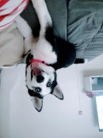Siberian Husky Puppies for sale in North Clairemont, San Diego, CA 92117, USA. price: NA