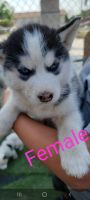 Siberian Husky Puppies for sale in Bloomington, CA, USA. price: NA