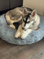 Siberian Husky Puppies for sale in San Antonio, TX 78260, USA. price: NA