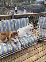 Siberian Husky Puppies for sale in Minnetonka, MN, USA. price: NA