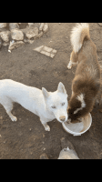 Siberian Husky Puppies for sale in Concord, NC, USA. price: NA