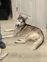 Siberian Husky Puppies for sale in Bennett, CO 80102, USA. price: NA