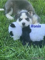Siberian Husky Puppies for sale in Mentor-On-The-Lake, OH 44060, USA. price: NA