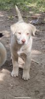 Siberian Husky Puppies for sale in Layton, UT, USA. price: NA