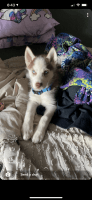 Siberian Husky Puppies for sale in Florida, NY 10921, USA. price: NA