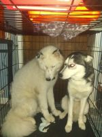 Siberian Husky Puppies for sale in Chicago, IL, USA. price: NA