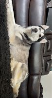 Siberian Husky Puppies for sale in Lewisville, TX, USA. price: NA