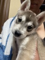 Siberian Husky Puppies for sale in Helendale, CA 92342, USA. price: NA