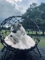 Siberian Husky Puppies for sale in Webster, FL 33597, USA. price: NA
